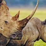 rhino-Custom-672x372
