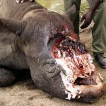 rhino-poaching-Small